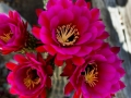 Flowering Cactus in the spring
