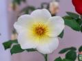 Rose Show-7