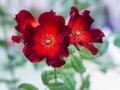 Rose Show-8
