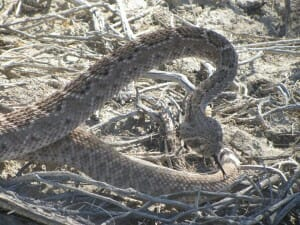 Coachella Valley Snake by  Geoffrey McGinnis
