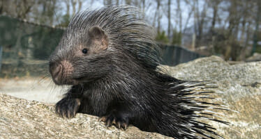 Coachella Valley's Living Desert is proud to announce the African Crested baby porcupine