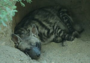 Baby Hyena at The Living Desert
