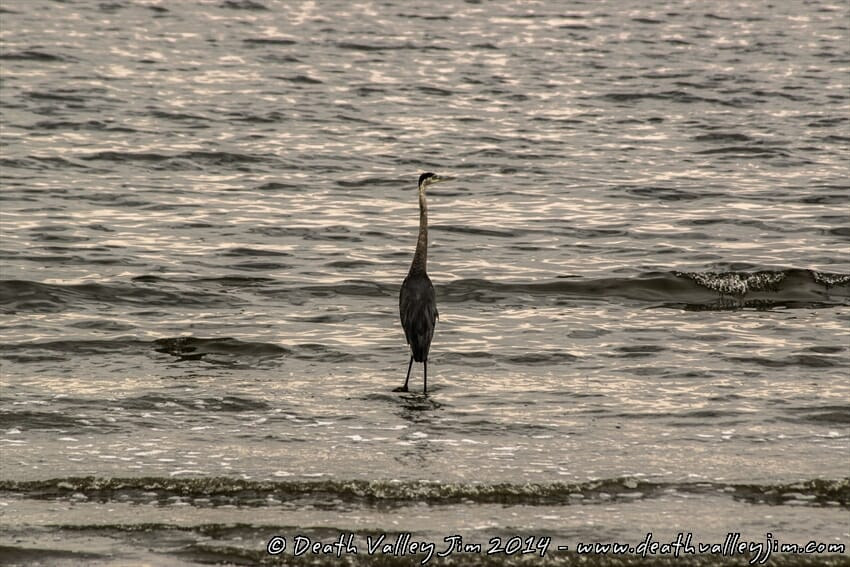 A heron enjoying the shores of the Salton Sea.