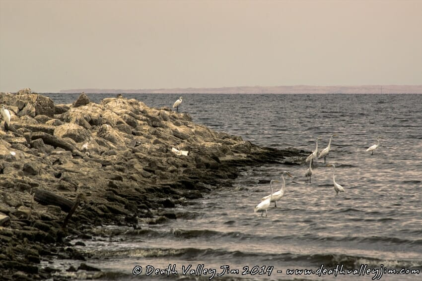 A flock of white heron along the shore breaker.