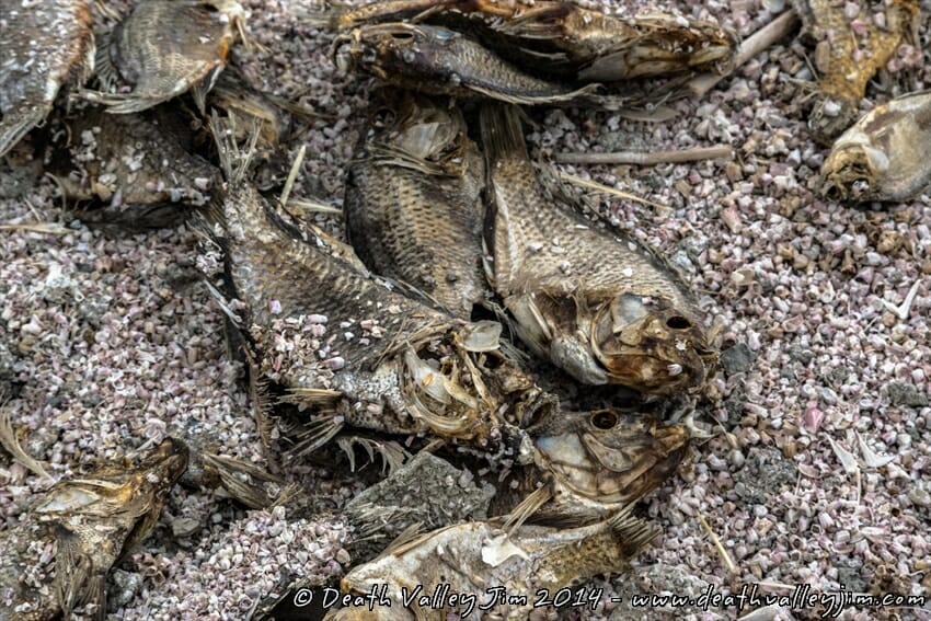 Rotting and decaying fish make up a large portion of the beaches along the Salton Sea, along with the bones of those that died before them.