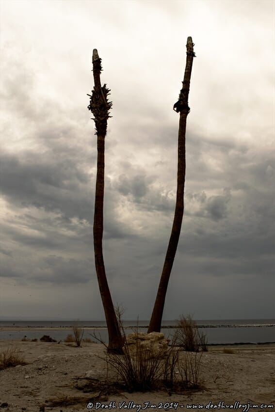 Palmless palms in Salton City.