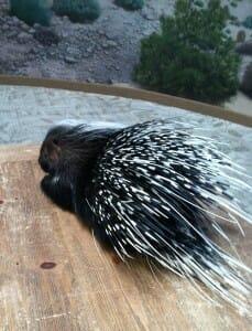 Tootsie Porcupine