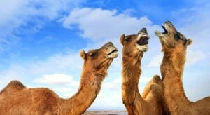 xl_6313_TP-ethiopia-camel-cheese-finedininglovers