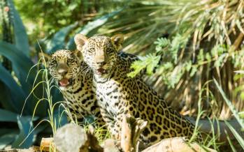 Coachella Valley's Living Desert's Jaguar Cubs Receive Names!