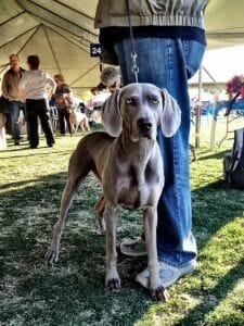 annual AKC Licensed All Breed Dog Shows, Obedience and Rally Trials held the first weekend in January at the Empire Polo
