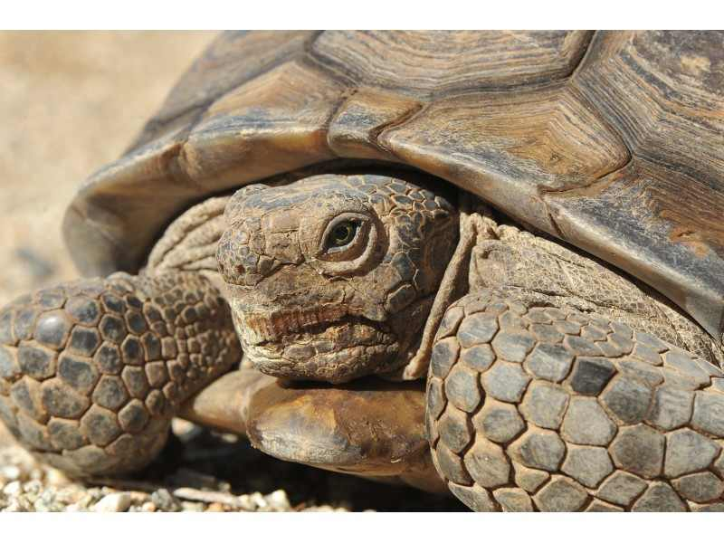 Maxine Mojave is a 36 yr. old Desert Tortoise who will be awaking soon.