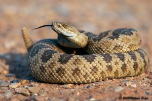 Rattlesnake you might find in the desert.
