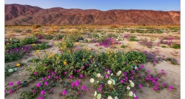 Anza Borrego Wild Flower Update!