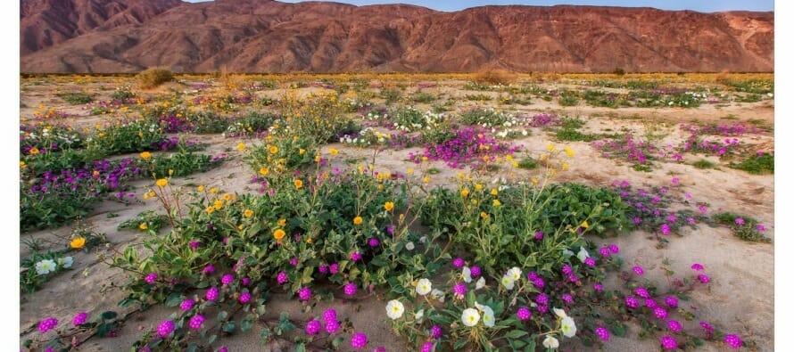 Anza borrego wild flower update coachella valley anza borrego wild flower update mightylinksfo