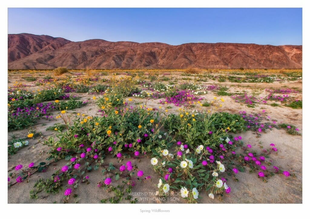 Anza borrego wild flower update coachella valley mightylinksfo