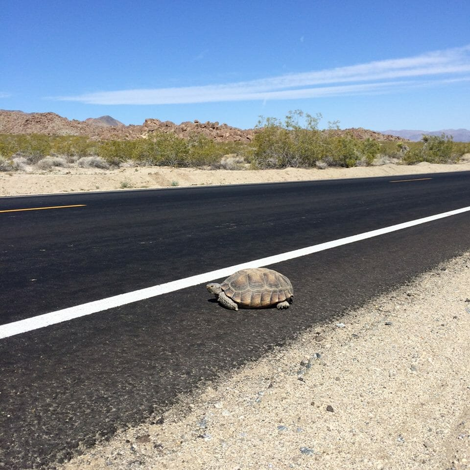 [NPS/Sara Sutton; A tortoise along the road]