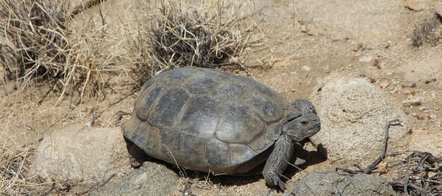 The Desert Tortoise of Joshua Tree – A Threatened Species