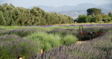 11th Annual Lavender Festival!