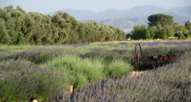11th Annual Lavender Festival!