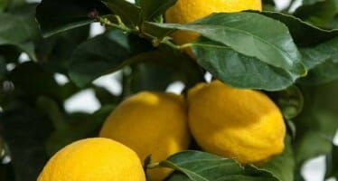 7 STeps for Doing Well with Citrus in the Desert!!