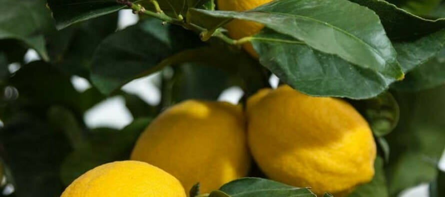 7 Steps for Doing Well with Citrus in the Coachella Valley!!