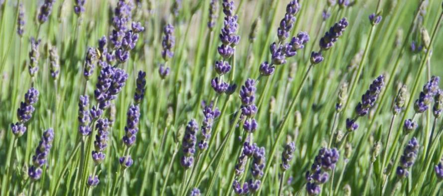 Lavender Festival – June 10-12 &  June 17-19