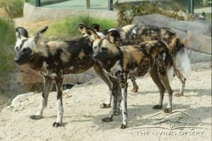 Lycaon pictus Family: Canidae, the dog family. Conservation Status: Endangered. Distribution: East and South Africa. African Wild Dog Habitat: Semi desert, savanna, woodland and dense scrub. Factoid: An adult dog will look for days for a lost pup or juvenile, calling out in a special vocalization and listening for a reply to bring the lost dog back to the pack. They are the largest canids in Africa and have a hyena-like head with very large, bat-like ears. They are slender bodied and long legged and their tri-colored coat is short and coarse: black and white at birth, with tan patches developing during the second month. Patterns are unique to each individual. These carnivores will eat almost anything they can catch and are extremely effective hunters, with success rates averaging 70% of all prey chased being caught.