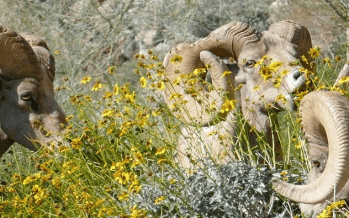 Coachella Valley's Bighorn Institute