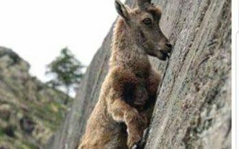 Coachella Valley Bighorn Sheep Meet The Alpine ibex