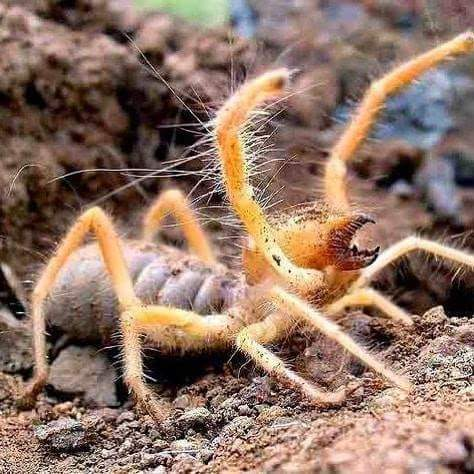 """Sun Spider, isn""""t a spider at all."""