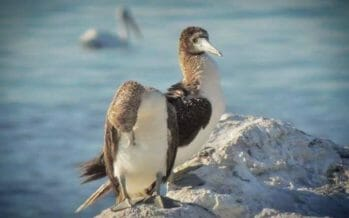 Blue-footed Boobies are a rare visitor to the Salton Sea