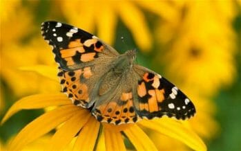 Near a billion butterflies migrating north through the Coachella Valley from the deserts of Mexico to Oregon.