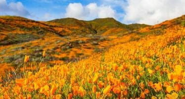 ? So. Many. Poppies. ? Today's California…