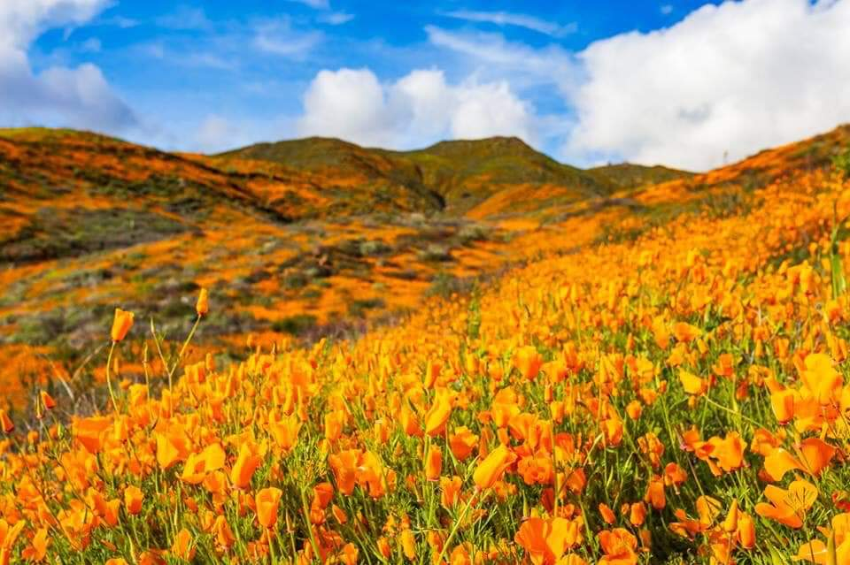 California Wildflowers 2019