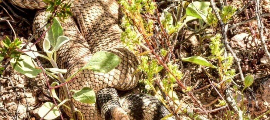 Found a couple of Rattle Snakes mating. Coachella Valley watch your step and respect their space.