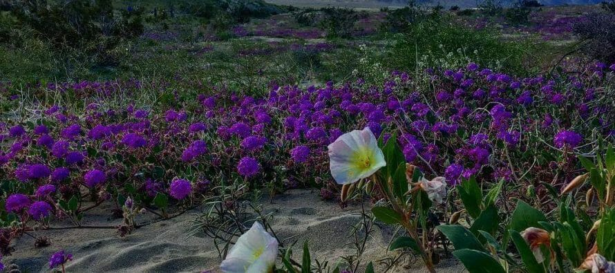Rainfall ignites Superbloom in the Coachella Valley, Purple in Palm Spings, California