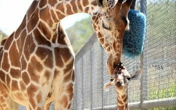 New Baby Female Giraffe Born at Living Desert Zoo, Coachella Valley