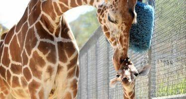 New Baby Female Giraffe Born at Living Desert Zoo, Coachella Valley