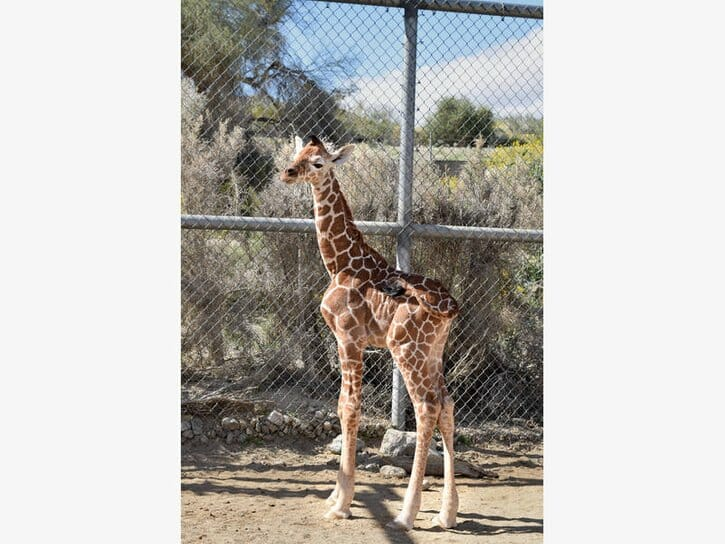 New Baby Female Giraffe Born at Living Desert Zoo The female calf weighs in at 149.6 pounds and stands 6 feet 1 inch tall.