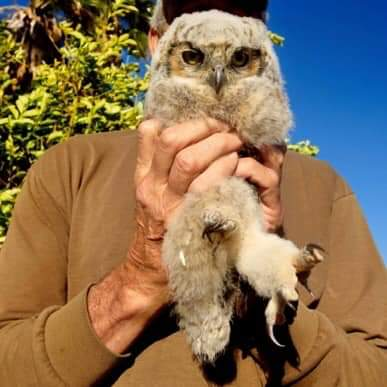 Today's Great Horned owl baby rescue.