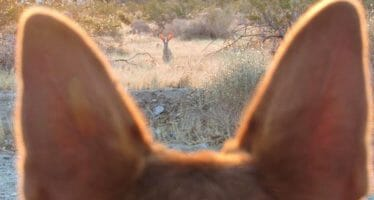 Anza-Borrego Coyote – Coachella Valley Photo of the Day! – by Sicco Road