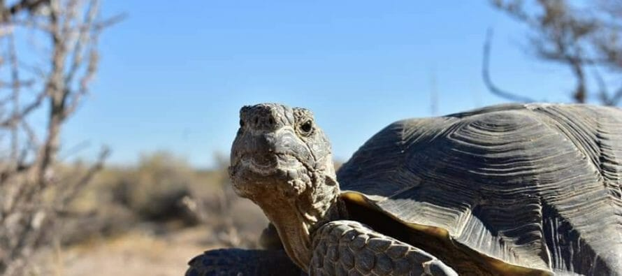 This testy Mojave tortoise had just chased off another male and then set his eyes on me.