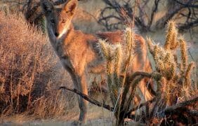 Photo of the Day – Coyote in Anza-Borrego Desert this morning stunning by Sicco Rood….