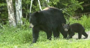 Black Bear walking through our Whitewater Preserve's meadow in the Coachella Valley