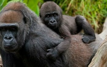 Gorillas Test Positive for Coronavirus at San Diego Zoo Safari Park