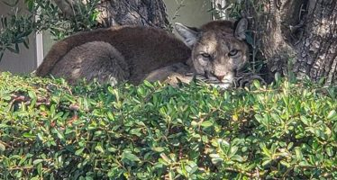 Mountain Lion Captured Palm Springs